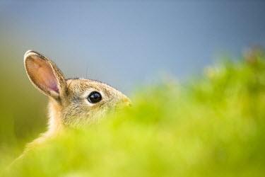European rabbit peeking over grass rabbit,rabbits,mammals,shallow focus,negative space,portrait,close up,close-up,cute,ears,eye,blue background,grass,green,peek,peeking,hiding,hidden,detail,obscured,focus,Oryctolagus cuniculus,Rabbits,