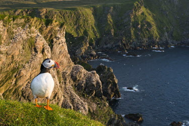 Atlantic puffin at clifftop edge puffin,puffins,Atlantic puffin,Fratercula arctica,bird,birds,seabird,seabirds,sea bird,sea birds,negative space,grass,adult,landscape,habitat,breeding habitat,cliff,clifftop,sea,marine,Ciconiiformes,H