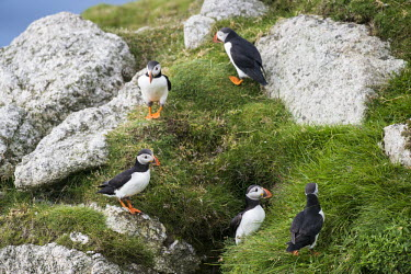 Atlantic puffins circling rocks at clifftop edge puffin,puffins,Atlantic puffin,Fratercula arctica,bird,birds,seabird,seabirds,sea bird,sea birds,grass,adult,adults,landscape,habitat,breeding habitat,group,Ciconiiformes,Herons Ibises Storks and Vult