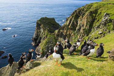 Atlantic puffins congregating at clifftop edge puffin,puffins,Atlantic puffin,Fratercula arctica,bird,birds,seabird,seabirds,sea bird,sea birds,grass,adult,adults,landscape,habitat,breeding habitat,cliff,clifftop,sea,marine,group,Ciconiiformes,Her