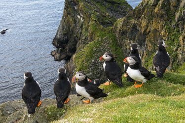 Atlantic puffins congregating at clifftop edge puffin,puffins,Atlantic puffin,Fratercula arctica,bird,birds,seabird,seabirds,sea bird,sea birds,grass,adult,adults,landscape,habitat,breeding habitat,cliff,clifftop,sea,marine,group,Ciconiiformes,Her
