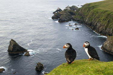 Atlantic puffins at clifftop edge puffin,puffins,Atlantic puffin,Fratercula arctica,bird,birds,seabird,seabirds,sea bird,sea birds,grass,adult,adults,landscape,habitat,breeding habitat,cliff,clifftop,sea,marine,pair,two,Ciconiiformes,