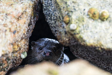 European otter amongst shoreline rocks common otter,Lutra lutra,otter,otters,European otter,mammals,carnivore,carnivores,shore,marine,sea,shoreline,rocks,shallow focus,coast,coastal,looking towards camera,peek,peeking,Mammalia,Mammals,Weas