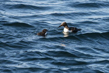 Common guillemot chick accompanied by father guillemot,guillemots,auk,auks,Uria aalge,adult,chick,male,young,swim,swimming,waves,surface,water,sea,marine,ocean,parental care,Charadriiformes,Shorebirds and Terns,Aves,Birds,Ciconiiformes,Herons Ib