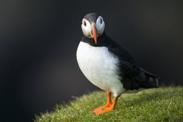Atlantic puffin puffin,puffins,Atlantic puffin,Fratercula arctica,bird,birds,seabird,seabirds,sea bird,sea birds,shallow focus,negative space,grass,adult,portrait,dark background,looking at camera,Ciconiiformes,Heron
