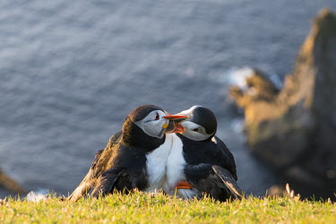 Atlantic puffins fighting at clifftop edge puffin,puffins,Atlantic puffin,Fratercula arctica,bird,birds,seabird,seabirds,sea bird,sea birds,grass,adult,adults,cliff,clifftop,pair,two,preen,preening,behaviour,interaction,Ciconiiformes,Herons Ib