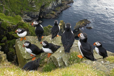 Atlantic puffins congregating on clifftop rock puffin,puffins,Atlantic puffin,Fratercula arctica,bird,birds,seabird,seabirds,sea bird,sea birds,grass,adult,adults,landscape,habitat,breeding habitat,cliff,clifftop,sea,marine,group,Ciconiiformes,Her