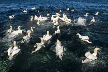 Northern gannets gathering after feeding on fish (thrown in by fishermen) gannet,gannets,bird,birds,seabird,seabirds,sea bird,sea birds,many,group,adult,adults,habitat,predator,fishing,diving,swimming,water,sea,marine,splash,water surface,Morus bassanus,Aves,Birds,Pelicans