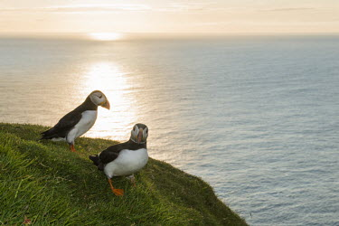 Atlantic puffins at clifftop edge at sunset puffin,puffins,Atlantic puffin,Fratercula arctica,bird,birds,seabird,seabirds,sea bird,sea birds,grass,adult,adults,landscape,habitat,breeding habitat,cliff,clifftop,sea,marine,pair,two,sunset,Ciconii
