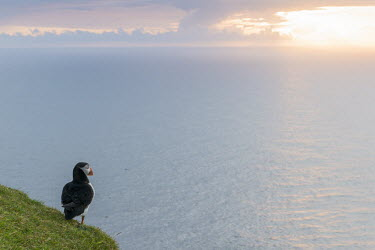 Atlantic puffin at clifftop edge at sunset puffin,puffins,Atlantic puffin,Fratercula arctica,bird,birds,seabird,seabirds,sea bird,sea birds,negative space,grass,adult,habitat,cliff,clifftop,sea,marine,sunset,rear,back,looking out to sea,Ciconi