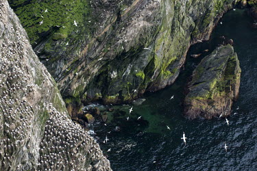 Northern gannet breeding colony on cliffs gannet,gannets,bird,birds,seabird,seabirds,sea bird,sea birds,colony,breeding,cliff,cliff face,face,sheer,many,group,pattern,nest,nests,nesting,paired,pairs,adult,adults,landscape,soaring,habitat,flig