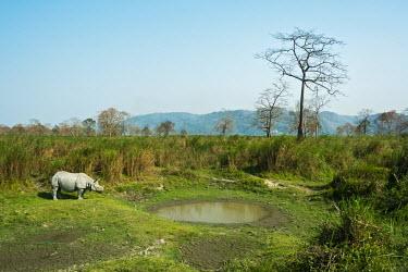 Indian Rhino foraging in its habitat, Karbi Anglong hill range wild,india,nature,mammal,photography,natural light,rhino,habitat,assam,herbivore,vulnerable,protected species,grazer,wildlife photography,rhinoceros unicornis,kaziranga national park,indian rhinoceros
