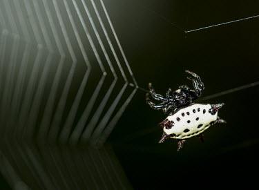Orb-weaver spider USA,Animalia,Arthropoda,Chelicerata,Arachnida,Araneae,Araneomorphae,Araneidae,Gasteracantha,G. cancriformis,Gasteracantha cancriformis,cancriformis,orb-weaver spider,orb-weaver spiders,spider,spiders,