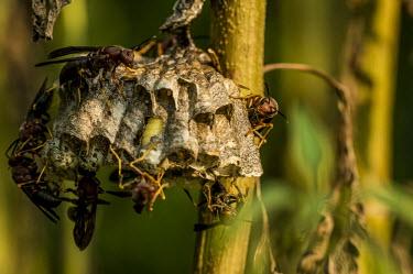 Hornets on nest USA,insects,insect,shallow focus,detail,Animalia,Arthropoda,Insecta,Hymenoptera,Apocrita,Vespidae,Vespinae,Vespa,eusocial wasps,eusocial wasp,vespine wasps,vespine wasp,social wasp,social wasps,nest,b