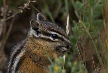 Chipmunk USA,mammals,mammal,chipmunk,chipmunks,Tamias minimus,Tamias,minimus,close up,close-up,feeding,shallow focus,cute,Mammals,Chordates,Chordata,Mammalia,Rodents,Rodentia,Squirrels, Chipmunks, Marmots, Pra