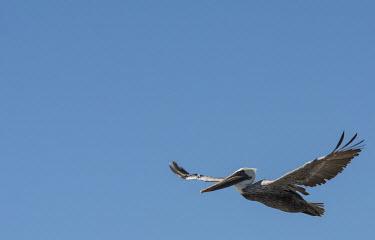 Bown pelican USA,birds,bird,pelican,pelicans,brown pelicans,adult,flight,side,blue sky,in flight,sun,negative space,Birds,Ciconiiformes,Herons Ibises Storks and Vultures,Aves,Chordates,Chordata,Pelecanidae,Pelican