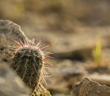 Cactus USA,plants,plant,cactus,cacti,Plantae,Tracheophyta,Magnoliopsida,Caryophyllales,Cactaceae,shallow focus,negative space,spines,Plants