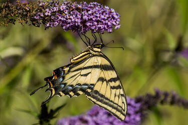 Western tiger swallowtail USA,insects,insect,Animalia,Arthropoda,arthropod,arthropods,Insecta,Lepidoptera,Papilionidae,Papilionini,Papilio,P. rutulus,Papilio rutulus,rutulus,western tiger swallowtail,swallowtail butterfly,butt