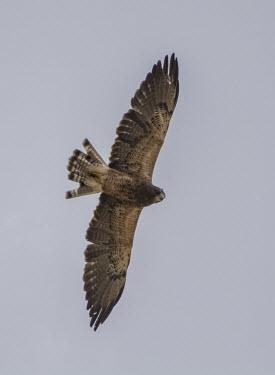 Buzzard USA,birds,bird,buzzard,buzzards,Animalia,Chordata,Aves,Accipitriformes,Accipitridae,flight,in flight,below,underneath,wings,blue sky,outstretched,Birds