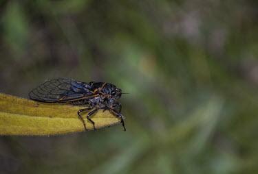Yellowstone cicada USA,insects,insect,Animalia,Arthropoda,Insecta,Hemiptera,Auchenorrhyncha,Cicadomorpha,Cicadoidea,cicada,cicadas,Yellowstone,Yellowstone National Park,Insects