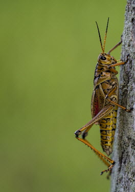 Yellow cricket USA,insects,insect,Animalia,Arthropoda,Insecta,Orthoptera,grasshopper,grasshoppers,side,negative space,detail,vertical,Insects