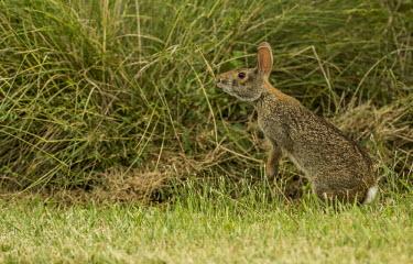 Marsh rabbit USA,mammals,mammal,alert,camouflage,camouflaged,Animalia,Chordata,Mammalia,Lagomorpha,Leporidae,rabbit,rabbits,sniff,sniffing,side,negative space,Mammals
