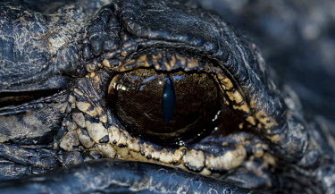 Gator eye USA,reptiles,alligators,Alligator mississippiensis,Alligator,mississippiensis,American alligator,close up,close-up,eye,Reptiles,Crocodilia,Crocodilians,Chordates,Chordata,Reptilia,Alligatoridae,Aligat