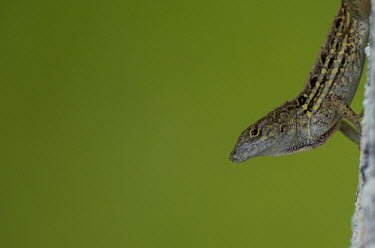 Brown anole - introduced to North America in the 1970s and has become a very invasive species. USA,reptiles,reptile,anole,brown anole,anoles,Bahaman anole,De la Sagra's anole,Animalia,Chordata,Reptilia,Squamata,Dactyloidae,Anolis,A. sagrei,sagrei,lizard,lizards,invasive,highly invasive,invasive