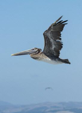 Bown pelican juvenile USA,birds,bird,pelican,pelicans,brown pelicans,young,juvenile,flight,side,blue sky,in flight,sun,Birds,Ciconiiformes,Herons Ibises Storks and Vultures,Aves,Chordates,Chordata,Pelecanidae,Pelicans,Peli
