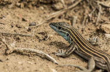 Skink USA,reptiles,reptile,Animalia,Chordata,Reptilia,Squamata,Scincidae,skink,skinks,close up,close-up,sand,sandy,blue,shallow focus,Reptiles