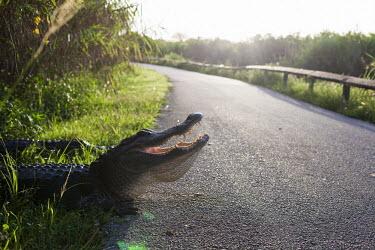 Alligator cooling USA,reptiles,alligators,Alligator mississippiensis,Alligator,mississippiensis,American alligator,cooling,sunny,flare,road,verge,gape,teeth,shallow focus,Reptiles,Crocodilia,Crocodilians,Chordates,Chor