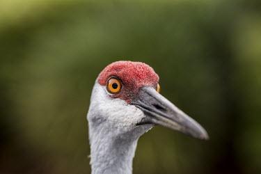 Sandhill crane USA,bird,birds,crane,cranes,sandhill crane,sandhill cranes,Grus canadensis,Grus,canadensis,head,face,close up,close-up,eye,orange,green background,shallow focus,negative space,Birds,Chordates,Chordata