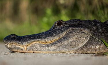 Alligator USA,reptiles,alligators,Alligator mississippiensis,Alligator,mississippiensis,American alligator,close up,close-up,head,face,smile,shallow focus,teeth,Reptiles,Crocodilia,Crocodilians,Chordates,Chorda