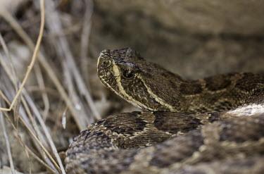 Rattlesnake USA,reptiles,reptile,snake,snakes,rattlesnake,rattlesnakes,Animalia,Chordata,Reptilia,Squamata,Viperidae,Least Concern,close up,close-up,eye,shallow focus,brown,Prairie rattlesnake,Crotalus viridis,Cr
