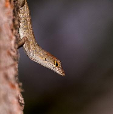 Lizard on tree USA,reptiles,reptile,Animalia,Chordata,Reptilia,lizard,lizards,descending,shallow focus,negative space,dark background,side,Reptiles