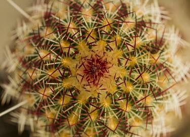 Green pitaya USA,plants,plant,cactus,cacti,Plantae,Tracheophyta,Magnoliopsida,Caryophyllales,Cactaceae,green-flower hedgehog cactus,green pitaya,nylon hedgehog cactus,Least Concern,spines,needles,sharp,prickly,pat