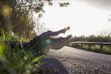Alligator cooling USA,reptiles,alligators,Alligator mississippiensis,Alligator,mississippiensis,American alligator,cooling,sunny,flare,road,verge,low angle,gape,teeth,shallow focus,Reptiles,Crocodilia,Crocodilians,Chor