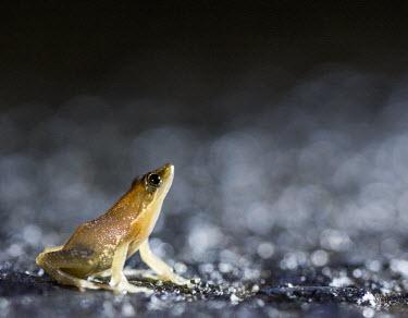 Madagascan frog in road Madagascar,amphibians,amphibian,Animalia,Chordata,Amphibia,Anura,Mantellidae,Data Deficient,frog,frogs,Blommersia sarotra,Blommersia,sarotra,flash,night,road,side,negative space,shallow focus