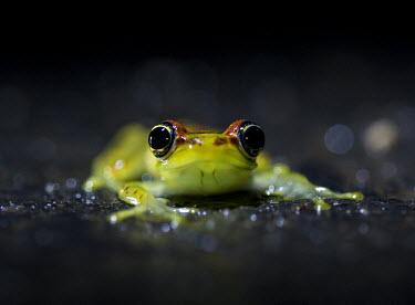 Madagascan frog in road Madagascar,amphibians,amphibian,Animalia,Chordata,Amphibia,Anura,Mantellidae,frog,frogs,Boophis bottae,Boophis,bottae,night,flash,cute,face,small,big eyes,shallow focus,dark background