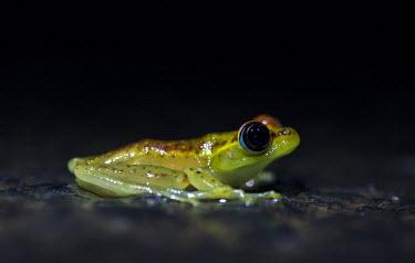 Madagascan frog in road Madagascar,amphibians,amphibian,Animalia,Chordata,Amphibia,Anura,Mantellidae,frog,frogs,Boophis bottae,Boophis,bottae,night,flash,cute,side,small,big eyes,shallow focus,dark background,green