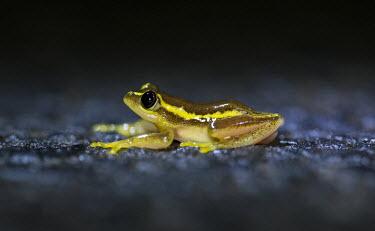 Betsileo reed frog in road Madagascar,amphibians,amphibian,Animalia,Chordata,Amphibia,Anura,Hyperoliidae,frog,frogs,Heterixalus betsileo,Heterixalus,betsileo,Betsileo reed frog,reed frog,reed frogs,night,flash,cute,side,small,b