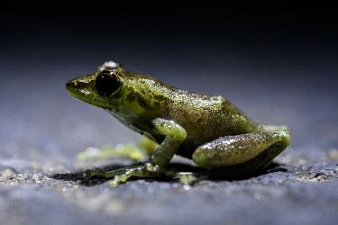 Madagascan frog in road Madagascar,amphibians,amphibian,Animalia,Chordata,Amphibia,Anura,frog,frogs,flash,night,road,side,shallow focus