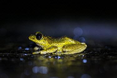 Madagascan frog in road Madagascar,amphibians,amphibian,Animalia,Chordata,Amphibia,Anura,frog,frogs,flash,night,road,side,shallow focus,yellow