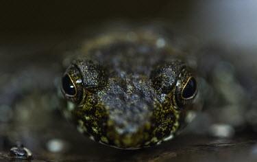 Waterfall frog Madagascar,amphibians,amphibian,Animalia,Chordata,Amphibia,Anura,Mantellidae,Mantidactylus cowanii,Mantidactylus,cowanii,frog,frogs,close up,close-up,dark,eyes,shallow focus,grainy,Near Threatened
