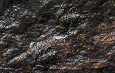 Waterfall frogs Madagascar,amphibians,amphibian,Animalia,Chordata,Amphibia,Anura,Mantellidae,Mantidactylus cowanii,Mantidactylus,cowanii,frog,frogs,dark,Near Threatened,camouglage,camouflaged,wet,water,rock