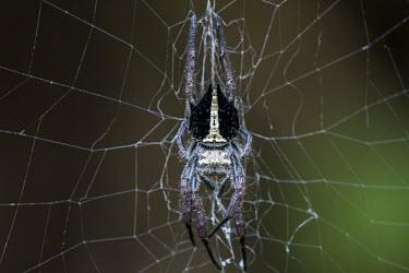 Orb spider Madagascar,spider,spiders,Animalia,Arthropoda,Arachnida,arachnid,arachnids,Araneae,Araneomorphae,Araneoidea,Araneidae,orb spider,orb spiders,orb weaver,orb weavers,black and white,shallow focus