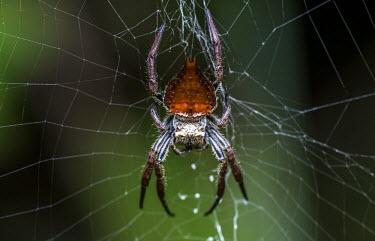 Orb spider Madagascar,spider,spiders,Animalia,Arthropoda,Arachnida,arachnid,arachnids,Araneae,Araneomorphae,Araneoidea,Araneidae,orb spider,orb spiders,orb weaver,orb weavers,orange,green background,shallow focu