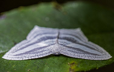 Moth on leaf Madagascar,Animalia,Arthropoda,arthropod,arthropods,Insecta,insect,insects,Lepidoptera,Geometroidea,Uraniidae,Microniinae,moth,moths,shallow focus,on leaf,black and white,adult