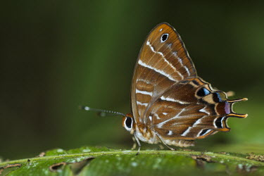 Lycenid butterfly Madagascar,Animalia,Arthropoda,arthropod,arthropods,Insecta,insect,insects,Lepidoptera,Riodinidae,Saribia,S. tepahi,Saribia tepahi,tepahi,beautiful,shallow ficus,green background,scales,detail,butterf