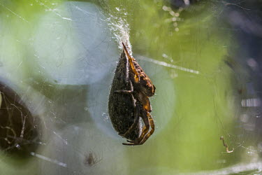Spider on sac Madagascar,spider,spiders,Animalia,Arthropoda,Arachnida,sac,web,reproduction,reproductive behaviour,shallow focus,adult,brown
